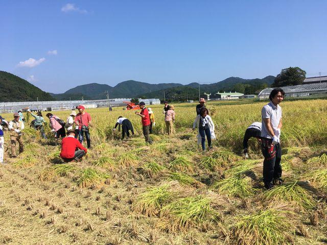 写真6 稲刈り風景3