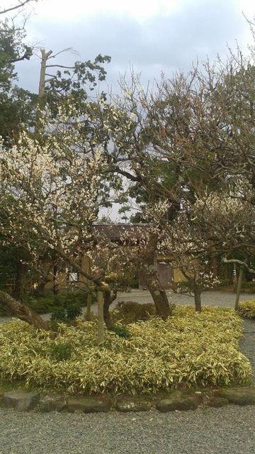 (5)庭園の梅