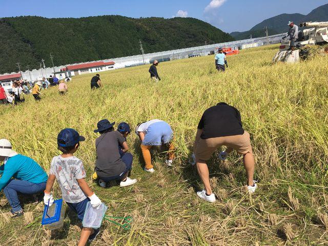 写真4 稲刈り風景