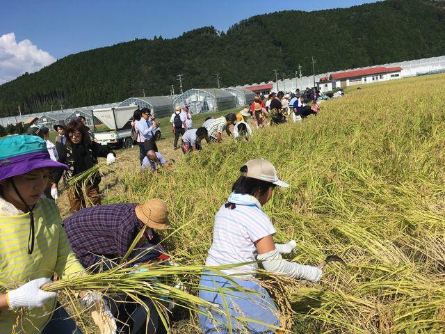 写真3 稲刈りスタート
