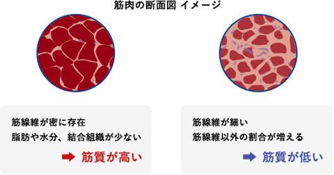筋肉の断面図イメージ