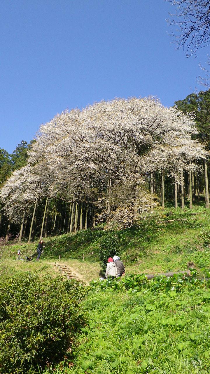 松国の大山桜