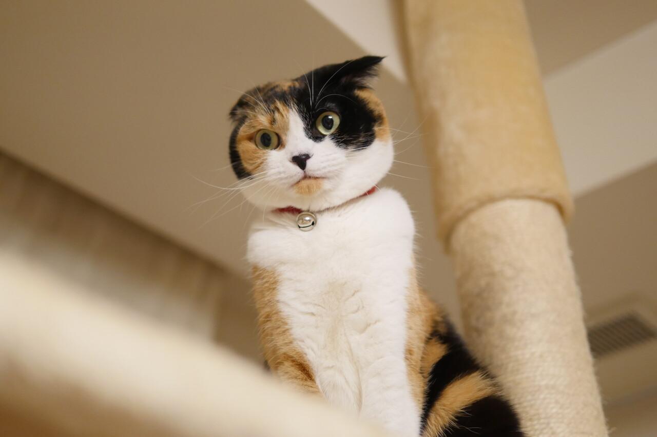 マリーさん三毛猫