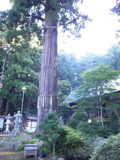 1200年杉 (2)b