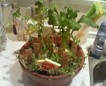 七草鉢植え