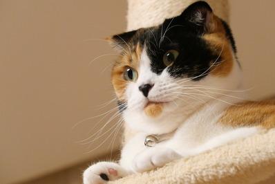 三毛猫マリー