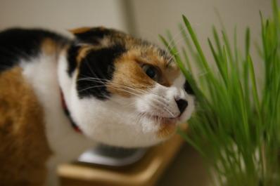 猫草マリー