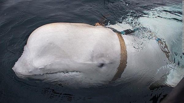 ノルウェー沖で見つかったベルトにカメラを付けたイルカ、「ロシア海軍要員」か