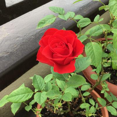 201805赤いバラ