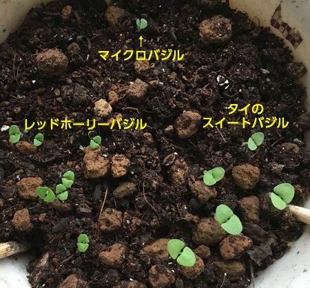 バジル3の芽