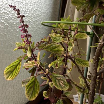 tulasi冬の花