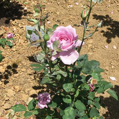 180623-紫のバラ