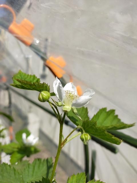 IMG20210412141645ボイセンベリーの花