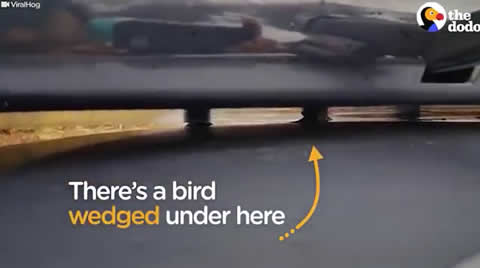 Freezing Bird trapped on a car roof