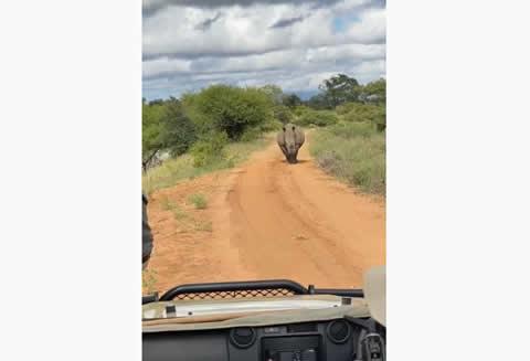 Rhino Runs After South African Safari Group