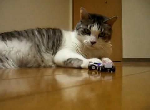 cyoroq_cat