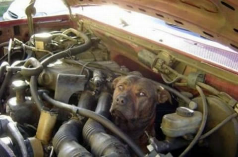 engine_dog