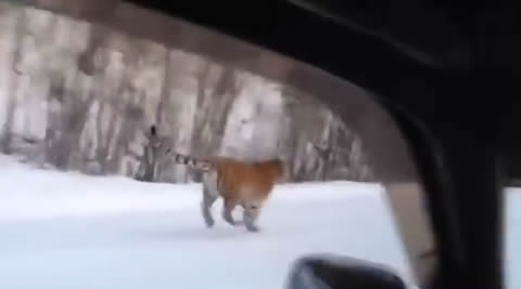russia_tiger