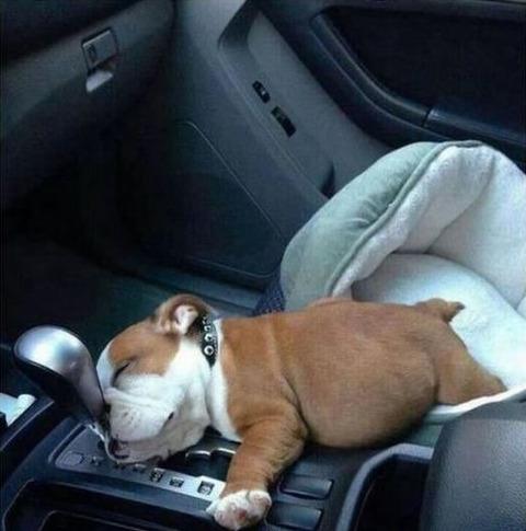 at_shift_dog