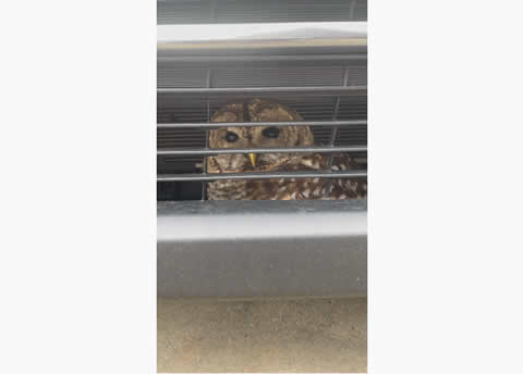 Owl Rescued After Being Stuck in Bumper Bar
