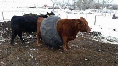 cow_fail
