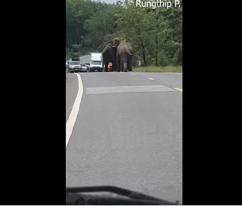 Elephants Chase Each Other Down Traffic