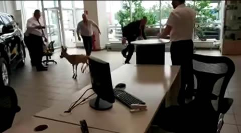 Deer visits a car dealership