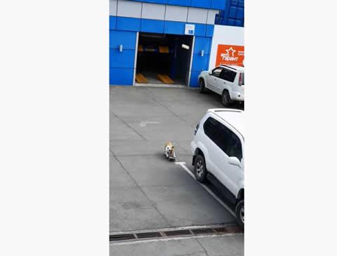 Skateboarding Bulldog Carves up Car Park