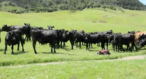 cow_rccar