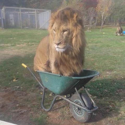 lion_car
