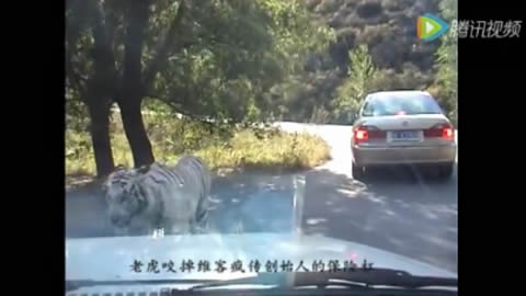 Tiger tears off a car's bumper
