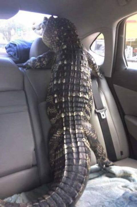 crocodile_drive