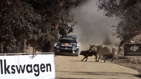 Ogier-cow-incident