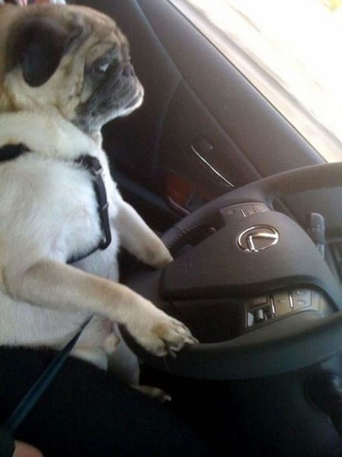 lexus_dog