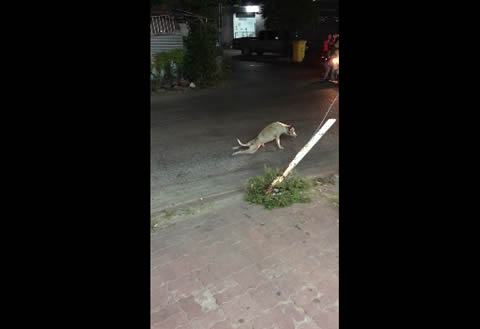 Stray Dog Stunt