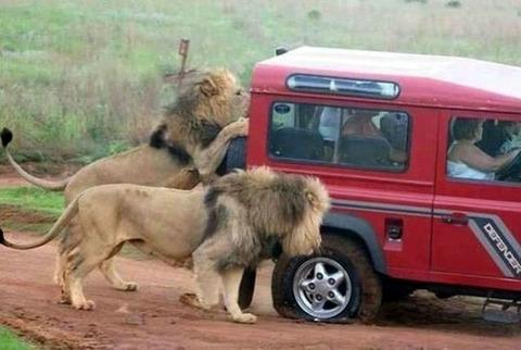 lion_punkture