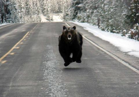 bear_run