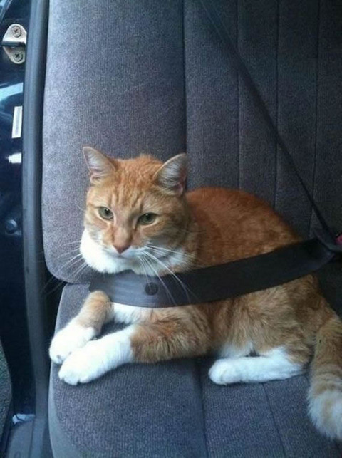 cat_seatbelt