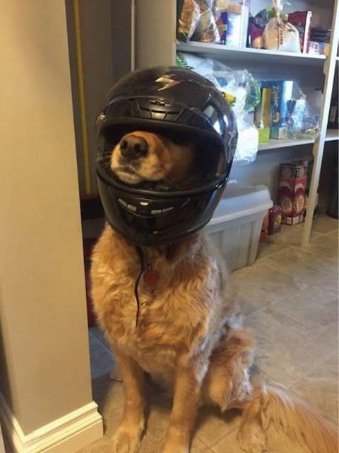 Helmet dog