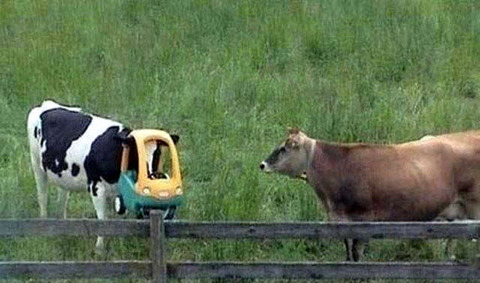 cow_drive