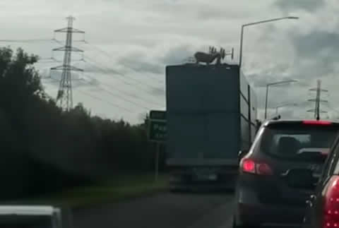Sheep Mysteriously on Top of Semi-Truck