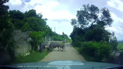 Scooter Bumps into Water Buffalo