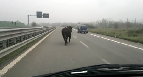 cow_road