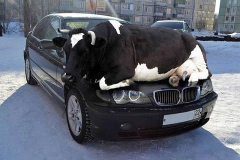 bmw_cow