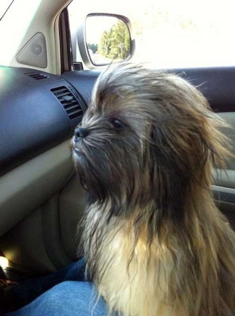 chewbacca-dog-1