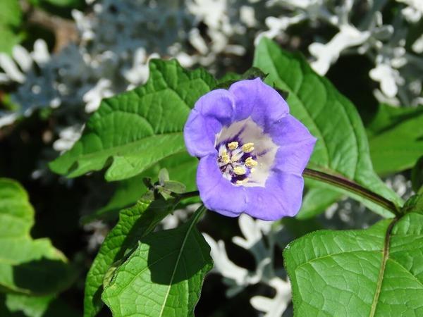 17クロホオズキオオセンナリの園芸品種