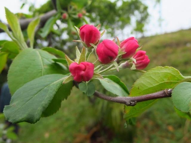 17姫リンゴ