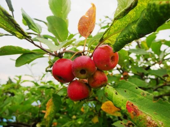 4ヒメリンゴ