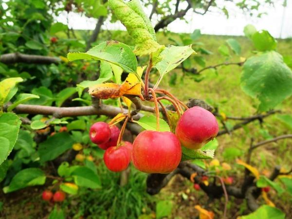 3ヒメリンゴ