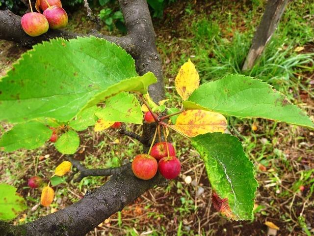 5ヒメリンゴ